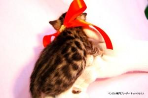 ベンガル子猫40番ノワールちゃん0201-2