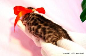 ベンガル子猫40番ノワールちゃん0201-3