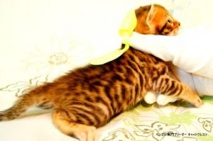 ベンガル子猫43番イエロー君2