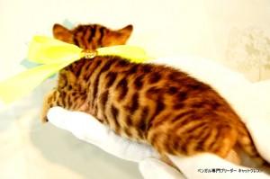 ベンガル子猫43番イエロー君3
