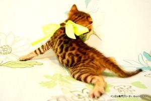 ベンガル子猫43番イエロー君4