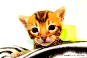 ベンガル子猫43番イエロー君5