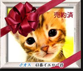 ベンガル子猫43番イエロー君
