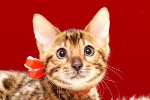 ベンガルの子猫370レッド