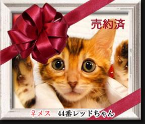 ベンガル子猫44番レッドちゃん