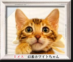 ベンガル子猫45番ホワイトちゃん