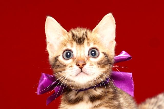 ベンガルの子猫391パープル