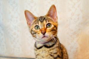 ベンガル子猫16番ピンクちゃん1
