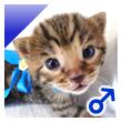 ベンガル猫の子猫5番ブルーくん