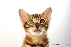 ベンガル子猫60番クロノス君1