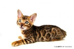 ベンガル子猫60番クロノス君3