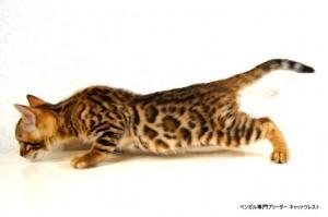 ベンガル子猫60番クロノス君4