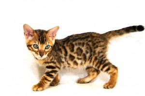 ベンガル子猫60番クロノス君6