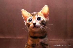 2013年6月10日生まれベンガル子猫63番レッドちゃん1