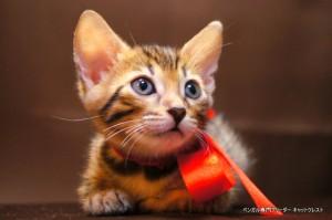 2013年6月10日生まれベンガル子猫63番レッドちゃん2