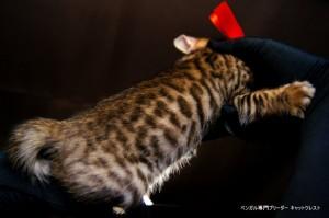 2013年6月10日生まれベンガル子猫63番レッドちゃん3