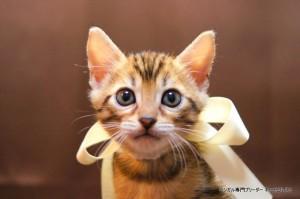 2013年6月10日生まれベンガル子猫64番ホワイトちゃん1