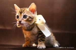 2013年6月10日生まれベンガル子猫64番ホワイトちゃん2