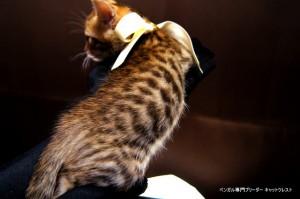 2013年6月10日生まれベンガル子猫64番ホワイトちゃん3