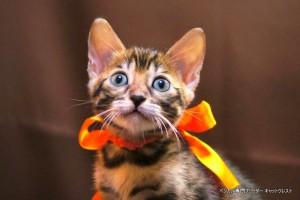 2013年6月10日生まれベンガル子猫65番オレンジちゃん1