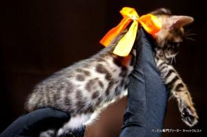 2013年6月10日生まれベンガル子猫65番オレンジちゃん3