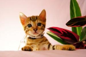 ベンガル子猫 28番スノウちゃん1