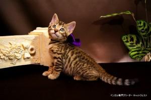 ベンガル子猫69番むらさき8