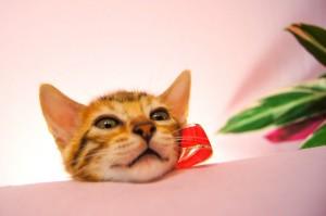 ベンガルの子猫 29番ルビーちゃん4