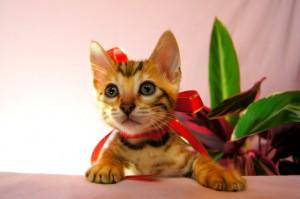 ベンガルの子猫 29番ルビーちゃん1