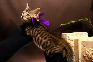ベンガル子猫69番むらさき5