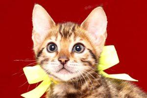 ベンガルの子猫390イエロー