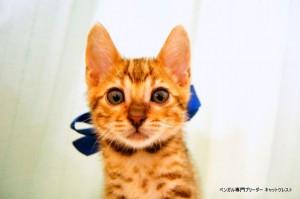 ベンガルの子猫86番あおくん1