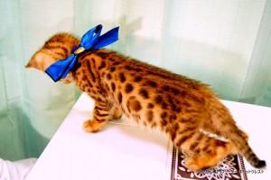 ベンガルの子猫86番あおくん3