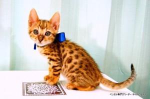 ベンガルの子猫86番あおくん4