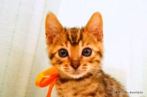 ベンガルの子猫87番おれんじくん1
