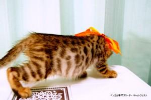 ベンガルの子猫87番おれんじくん2