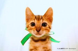 ベンガルの子猫88番みどりくん1