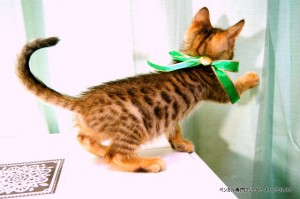 ベンガルの子猫88番みどりくん2