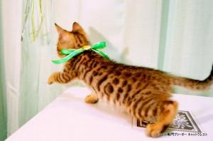 ベンガルの子猫88番みどりくん3
