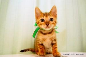 ベンガルの子猫88番みどりくん5