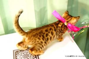 ベンガルの子猫89番さくらちゃん2