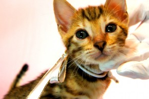 ベンガル子猫 28番スノウちゃん2