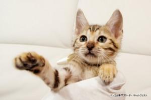 ベンガル子猫93番しろちゃん