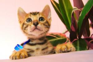 ベンガル子猫 25番アビスくん2