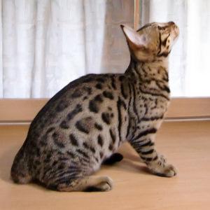 ベンガル猫ナイト11940