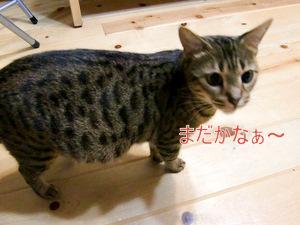 ベンガル猫 ウリの写真