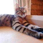 ベンガル猫 モカの足