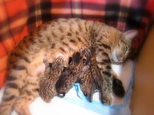 ベンガル猫ウリの子猫出産1