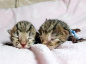 ベンガルの子猫 オス 2匹