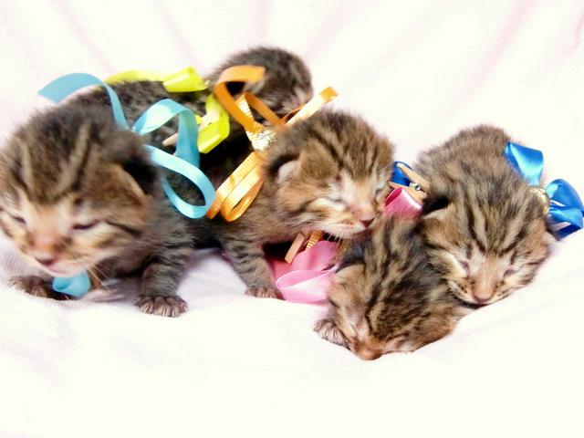 ベンガルの子猫 販売中